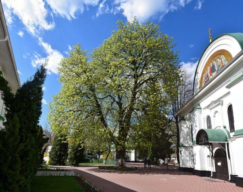 Найстаріший київський каштан