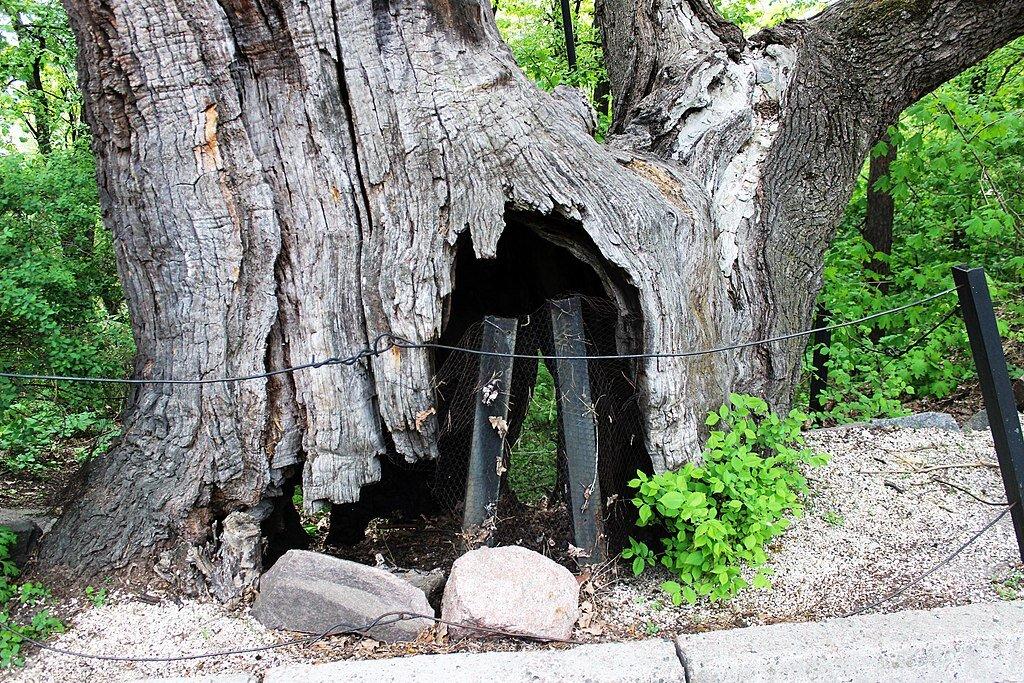 Найстаріший київський дуб - Дуб Грюневальда.