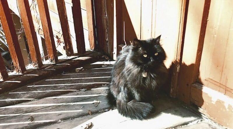 кішка марго