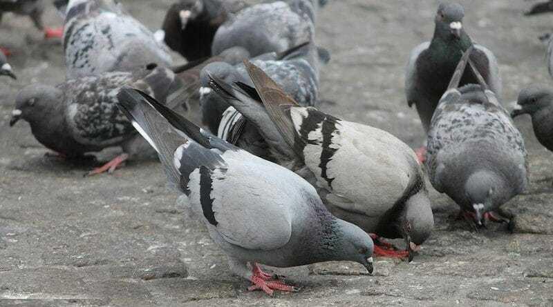 Мешканець столиці вимагає визначити окремі місця для годування голубів.
