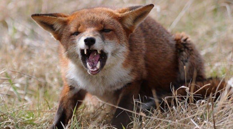 скажени лисиця