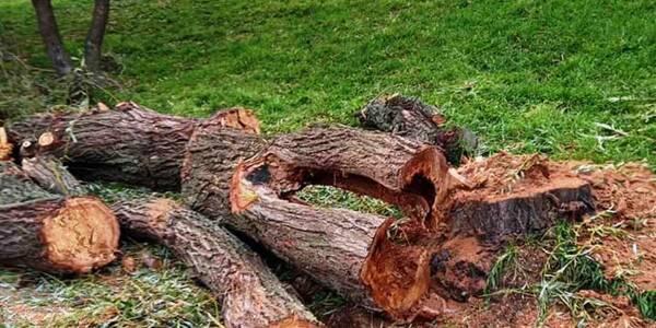 На Березняках спиляли старі верби: «дерево Цоя» залишили