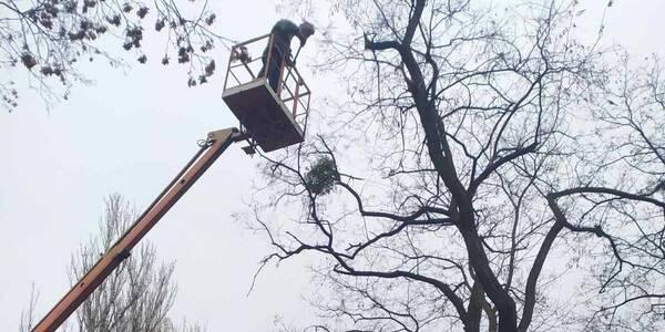 Дерева у столичних парках почистили від паразитів
